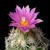 Escobaria hesteri ssp. grata VM 545