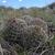 Escobaria vivipara MN 406 (S Hogan Pass, 2600m, Utah, USA)