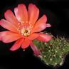 Echinopsis rojasii MN 657 (E Pulquina Abajo)