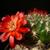 Sulcorebutia purpurea MN 623