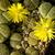 Lithops schwantesii v. rugosa cv. Shagreen