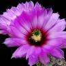 Echinocereus chisosensis LZ 398 (Brewster Co, TX)