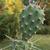[PLANT/PFLANZE] Opuntia polyacantha aff LZ 365 (Lutzens land, Torrey, Utah) **