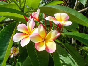 Plumeria cv. mixed colours