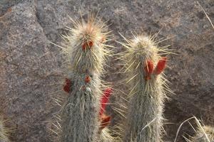 Cleistocactus spec. nova RH 5338 (Collpa, Chuquisaca, Bol)
