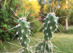 [PLANT/PFLANZE] Opuntia columbiana (Yakima River, WA, USA) **
