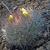 Weingartia neucumingii MN 439 (Comarapa dam, 1919m, Bol)