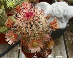 Echinocereus chloranthus ssp. rhyolithensis JRT 535 (Sierra Co, NM)