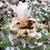 Ariocarpus retusus 'minimus' VM 332 (Casias Rayones, NL)