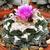 Ariocarpus fissuratus SB 413 (Brewster Co, TX)