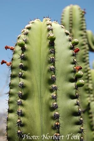 Myrtillocactus schenkii (Mitla, Oaxaca, Mex)