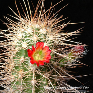 Echinocereus canyonensis fma. toroweapensis (Toroweap point, AZ, USA)