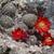 Rebutia  fusca MN 516 (E Iscayachi - Cuesta de Sama, Tarija, 3867m, Bol)