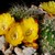 [PLANT/PFLANZE] Sulcorebutia vargasii 'viridissima' WK 996
