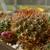 [PLANT/PFLANZE] Sulcorebutia kruegeri HS 130