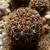 [PLANT/PFLANZE] Sulcorebutia kruegeri v. hoffmannii LH 1171