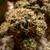 [PLANT/PFLANZE] Sulcorebutia kruegeri KP 49