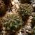 [PLANT/PFLANZE] Sulcorebutia caniguerallii v. applanata KP 27