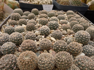 [PLANT/PFLANZE] Lobivia haematantha v. rebutioides Lau 521