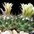 Escobaria missouriensis v. marstonii (Wolf Hole, AZ)