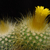 Parodia chrysacanthion MN 342 (Tumbaya, Jujuy, Argentina)