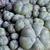 Lophophora williamsii 'caespitosa'