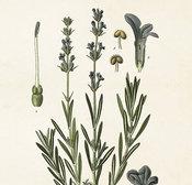 Poster Lavendel 18 * 24 cm