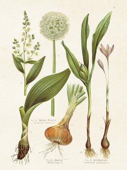 Poster Allium 18 * 24 cm