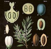 Poster Oliv 18 * 24 cm