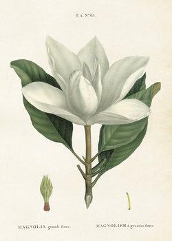 Poster Magnolia 50 * 70 cm