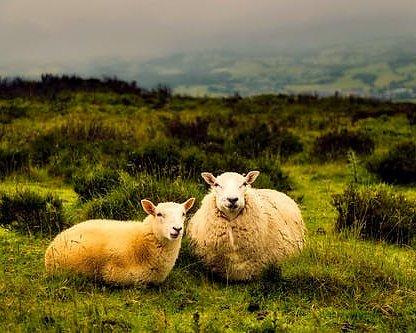 Ingen mulesing = glada får