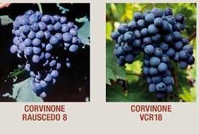 Corvione