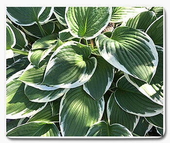 Grön vita växt blad natur 1 musmatta