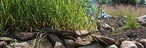 Vårt egenodlade myskgräs