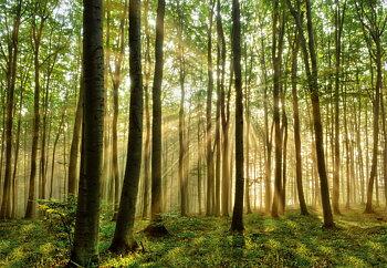 Fototapet Skog i morgonljus