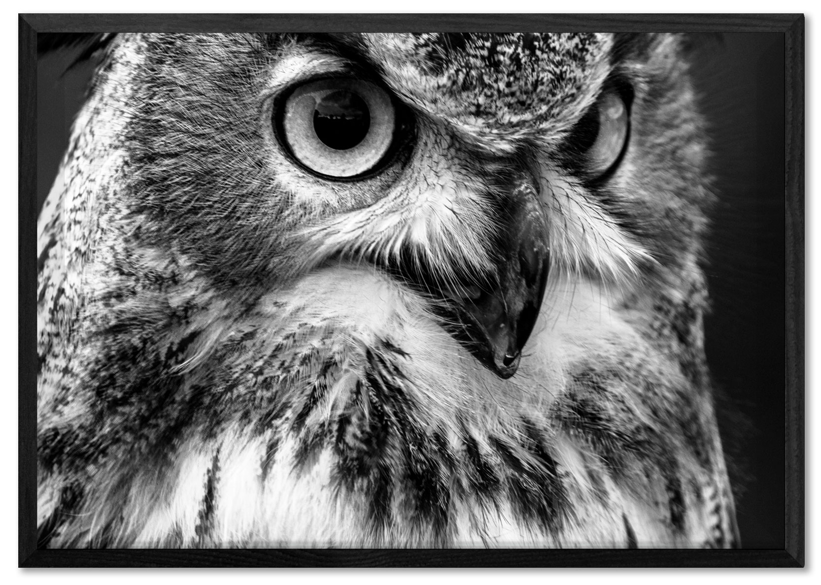 Owl close up black and white poster