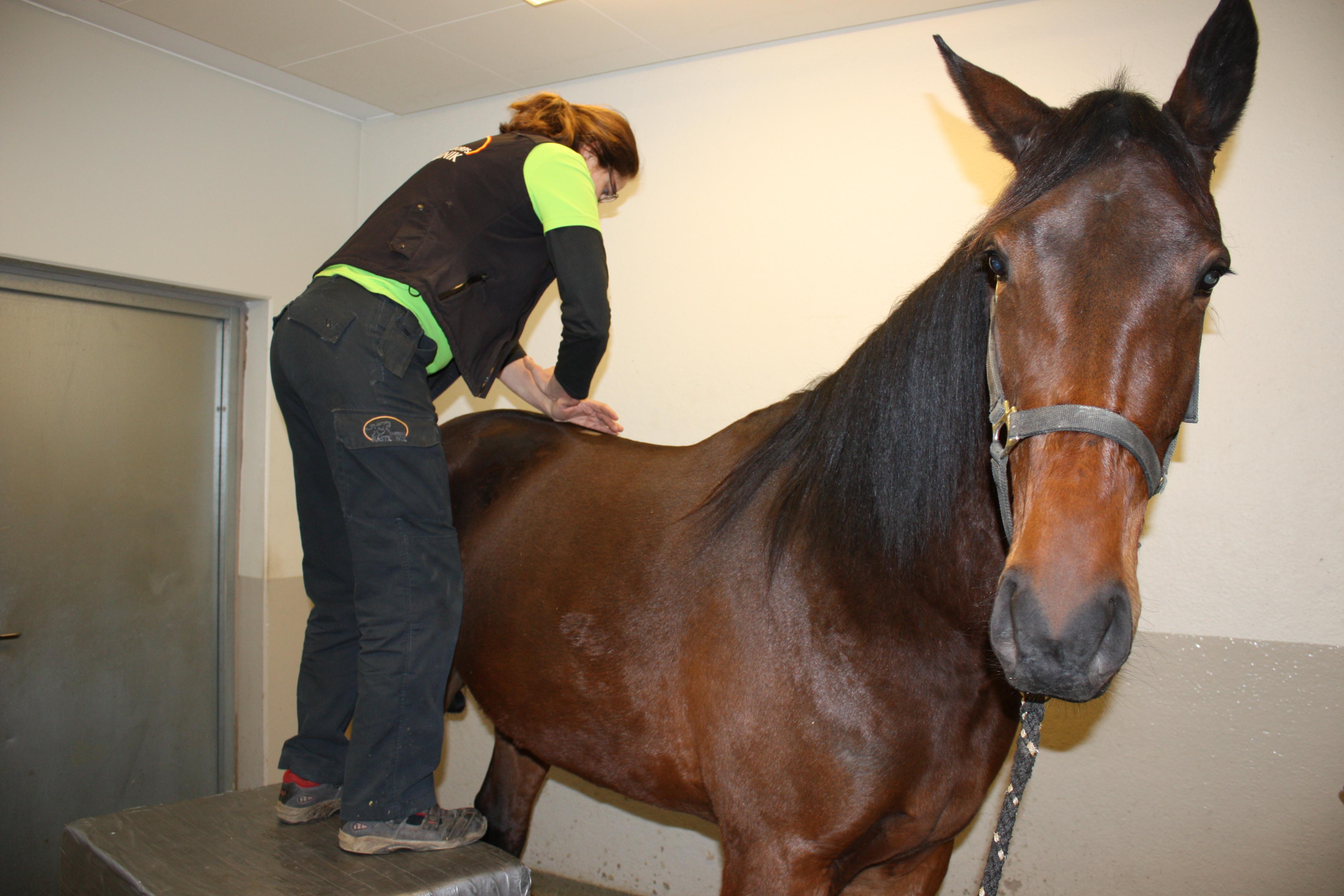 kiropraktor häst skåne