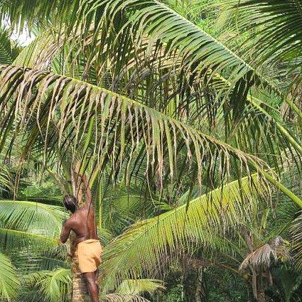 Kokosnötsolja från Indien